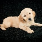 Blue-Ridge-Goldendoodles-choosing-a-goldendoodle-godlendoodle-puppy