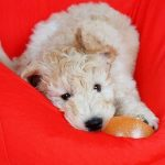 Blue-Ridge-Goldendoodles-choosing-a-goldendoodle-godlendoodle-puppy-with-ball