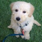Blue-Ridge-Goldendoodles-choosing-a-goldendoodle-mini-creme-godlendoodle