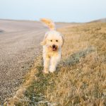 Blue-Ridge-Goldendoodles-walking-your-goldendoodle-goldendoodle-running